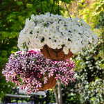 Arrange a mixture of hanging baskets with Easy Wave(R) burgundy star and white petunias for a gorgeous summer display. (Photo: Business Wire)