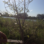 RES Donated Trees in New Orleans Park (Photo: Business Wire)