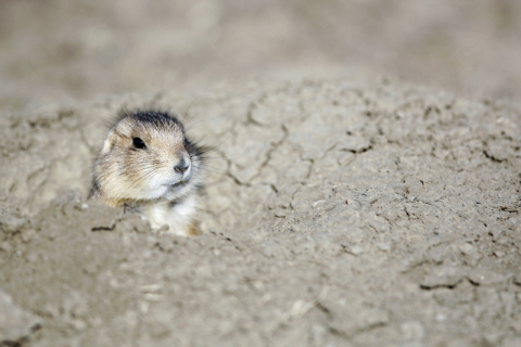 The US campaign is focused on saving black-tailed prairie dogs. Credit to: (C) WWF / Troy Fleece