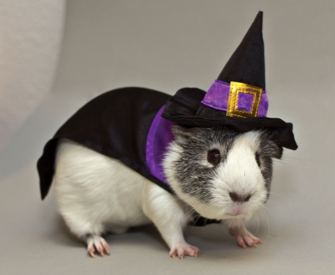 This year even the guinea pigs are getting in on the Halloween fun with pumpkin and witch costumes f ...