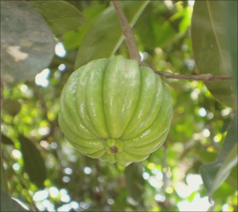 The Garcinia Cambogia fruit. (Photo: Business Wire)