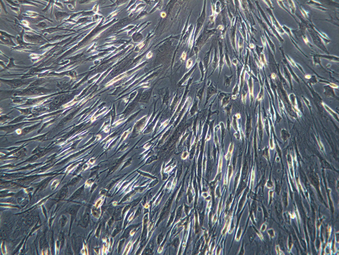 Eppendorf Enfield Laboratory image of human mesenchymal stem cells (hMSCs) (Photo: Business Wire)