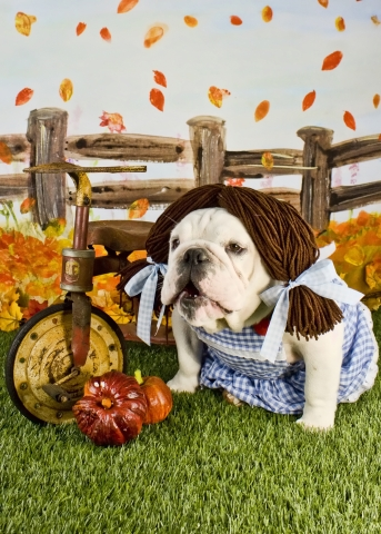 Dorothy, an English bulldog from Bedford, Texas, dressed as Dorothy from The Wizard of Oz, won the $ ...