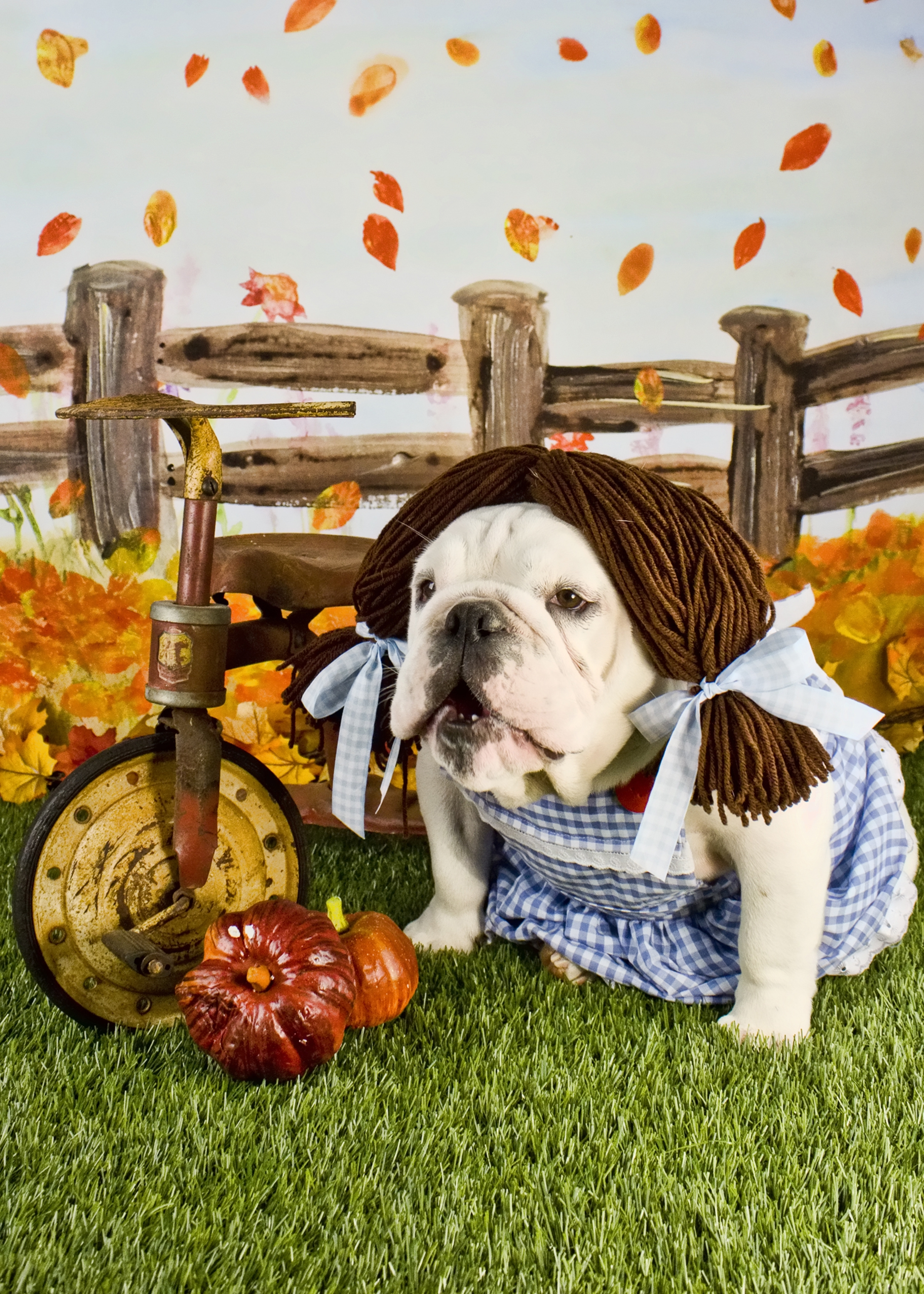 Petco Halloween Contest 2020 Dorothy the English Bulldog from Texas Wins $10,000 in PetSmart's