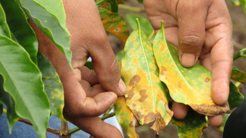 Coffee rust is a fungus that weakens and eventually kills coffee trees. Warmer, wetter weather, hist ...