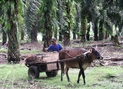 Freshly harvested palm fruit is tied together into a fresh fruit bunch, placed on carts and transported to a refinery for processing. (Photo: Business Wire)