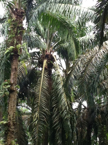 This mature palm tree is approximately 20-25 years old and is located on a palm plantation in Malays ...