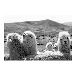 Llamas photographed by Helena Christensen in Peru (Photo: Business Wire)