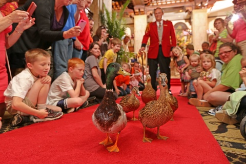 The Peabody Ducks marching at the flagship Peabody Hotels property in Memphis (Photo: Business Wire)