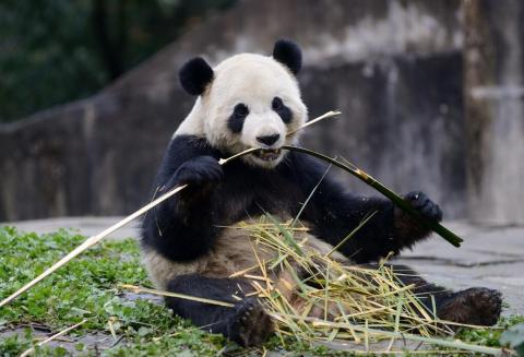 One of our VIPs -- Very Important Pandas -- eating bamboo (Photo: Business Wire)