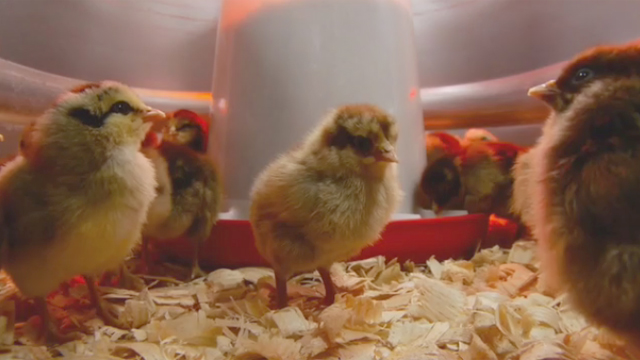 """Farm and ranch retailer Tractor Supply Company is kicking off """"Chick Days"""" nationwide this week with a focus on powering backyard farmers and the fast-growing self-reliance movement."""