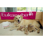 Meet the Eukanuba Hero Litter, future Canine Companions for Independence assistance dogs! (Chris Kittredge/Eukanuba Dog Foods)