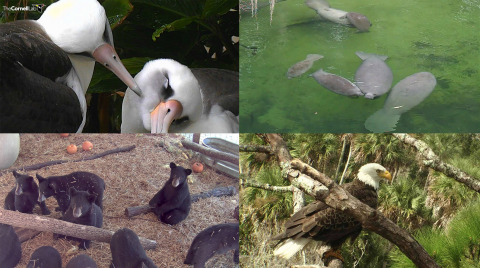Photos courtesy of Cornell Lab of Ornithology (top left), Save the Manatee Club (top right), Wildlife Center of Virginia (bottom right) and American Eagle Foundation (bottom left).