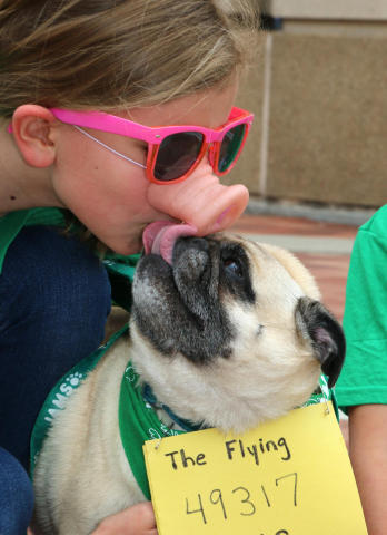 Runner Sydney Elliott, 9, gets licked by her dog, Belle, on her fake pig nose as they get ready to run the IAMS Flying Fur dog run in downtown Cincinnati, Sat., May 3, 2014. More than 500 dogs and owners ran in the two-mile race as part of races taking place during the Flying Pig Marathon weekend events. IAMS Bowls of Love will be donating a bag of pet food for each dog running in the event to the SPCA in Cincinnati. (Tom Uhlman/AP Images for IAMS)
