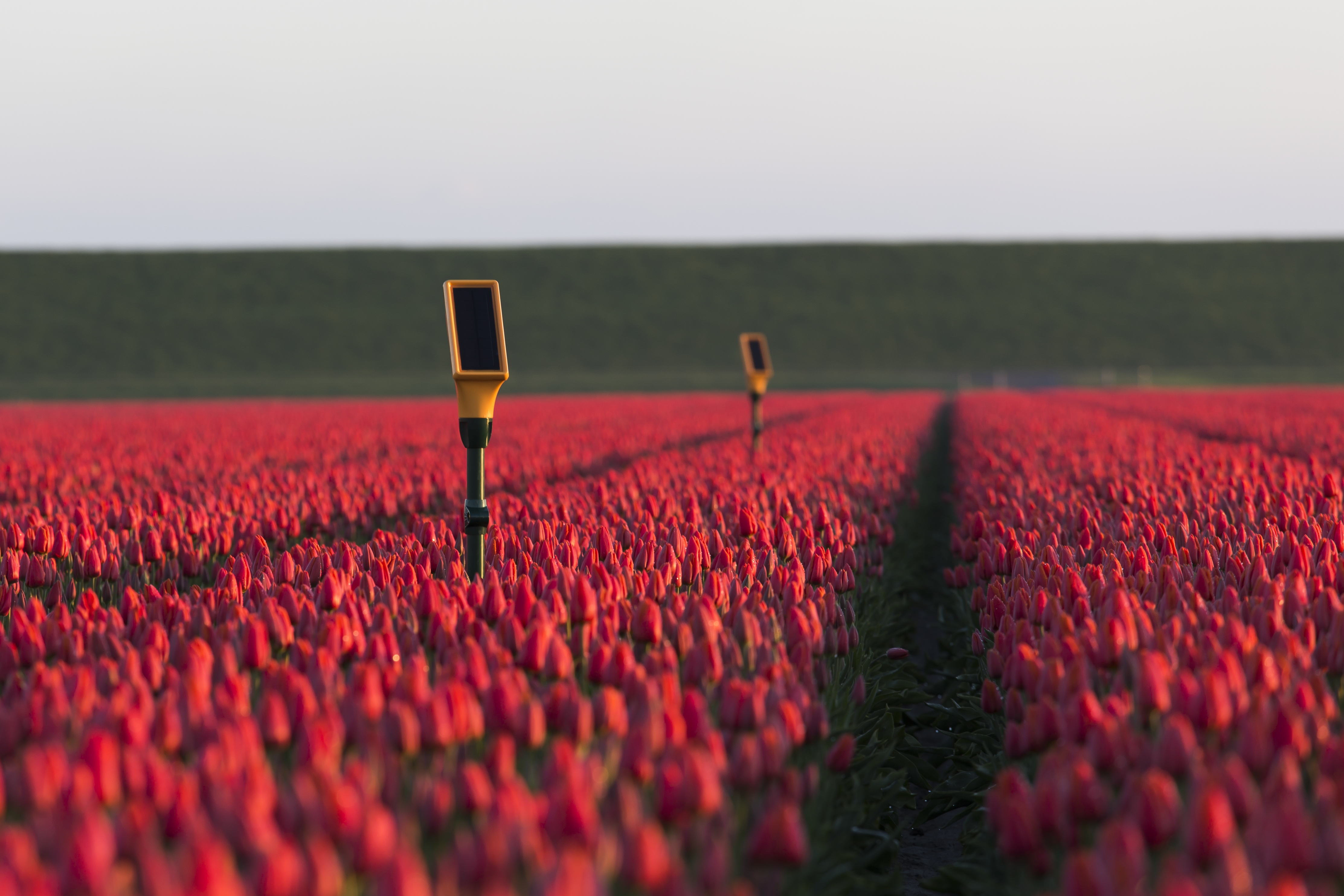 Dacom's solar-powered Sensetions smart sensors with Orange technology inside enables optimal irrigation for tulips growing in the Netherlands. © Dacom