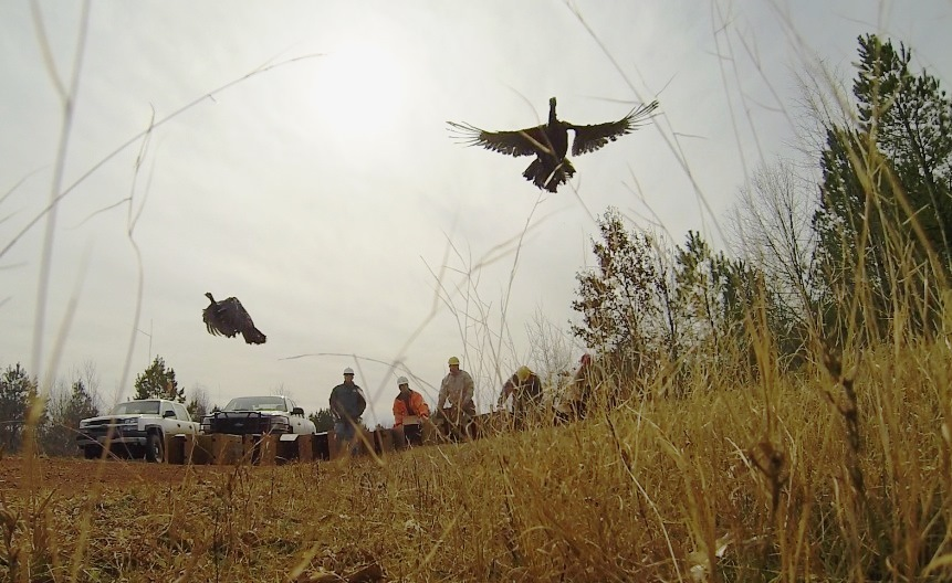 The turkeys, which are part of a new, super-stocking initiative designed to significantly increase turkey numbers in East Texas, take flight at Luminant's Oak Hill Mine. (Photo: Business Wire)