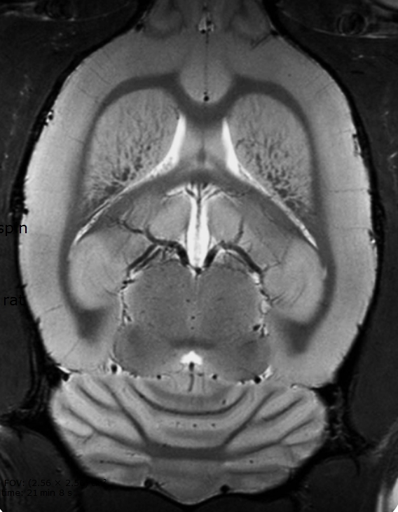 Ultra-high resolution in vivo rat brain imaging using the Array MRI CryoProbe. (Photo: Business Wire)