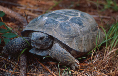 Gopher Tortoise (Photo Courtesy of Matt Aresco/Nokuse Plantation)