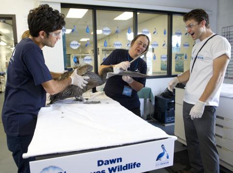 Actors Adrian Grenier, left, and Keegan Allen help Dr. Rebecca Duerr examine a California Brown Peli