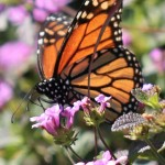 The iconic monarch butterfly is a popular choice for releases. Efforts to grant it threatened status are grossly overstating the estimated numbers released by the butterfly industry. (Photo: Business Wire)