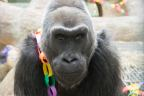 Colo the gorilla celebrates her 58th birthday on Dec. 22 at Columbus Zoo in Ohio. Born at the zoo in 1956, she was the first gorilla born in human care, and is now the oldest gorilla to ever have lived. (Photo: Business Wire)