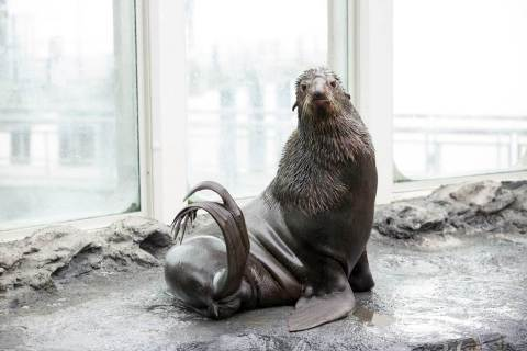 Commander, a rare northern fur seal, was delivered to Boston via FedEx to meet his future mate for V