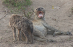 Check out a mother hyena and her baby bonding as the baby drinks milk from Mom's belly.