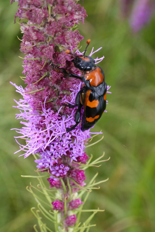 American Burying Beetle Mitigation Solutions Usa Muddy Boggy