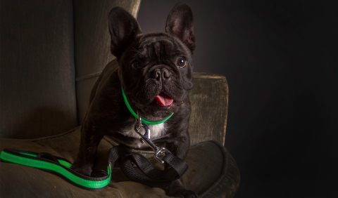 Cute French Bull Dog wearing the green Ultra Collar and Ultra Leash from ILLUMINIGHT (Photo: Business Wire)
