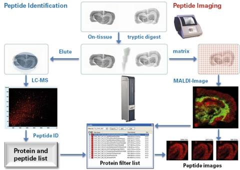 The ImageID™ workflow enables biomarker discovery in MALDI imaging cohort studies, with increased speed, resolution and mass accuracy with the rapifleX™ MALDI TOF/TOF. (Graphic: Business Wire)