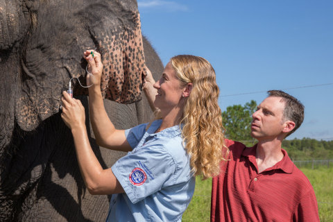 Together, Ringling Bros. and Barnum & Bailey Center for Elephant Conservation® Director of Veterinary Care Dr. Ashley Settles and Dr. Joshua Schiffman, Pediatric Oncologist from Primary Children's Hospital and Investigator with Huntsman Cancer Institute, both located in Salt Lake City, UT, take a blood sample from one of the herd at Ringling Bros. Center for Elephant Conservation.  (Photo: Feld Entertainment)