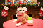 America's most playful celebrity cat, Waffles, teamed up with Friskies® to showcase the must-have holiday gift for cats – Friskies® Pull 'n Play™, which features Wobbert, a wobbly cat toy that can accommodate two treats at once: delicious Pull 'n Play strings and Friskies® Party Mix™ treats. (Amy Sussman/AP Images for Friskies)
