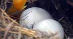 Two eggs begin peeping in an American Eagle Foundation nest in Florida. (Photo: Business Wire)