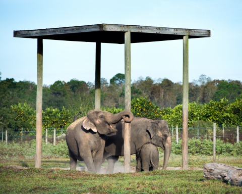 Shirley, Emma and Piper (pictured) at Ringling Bros. Center for Elephant Conservation, a 200-acre facility dedicated to saving the endangered species. The company and staff have made the necessary preparations sooner than anticipated to move the remainder of the traveling elephants to the center by May 2016, allowing Ringling Bros. to solely focus on conservation and pediatric cancer research. (Photo: Feld Entertainment)