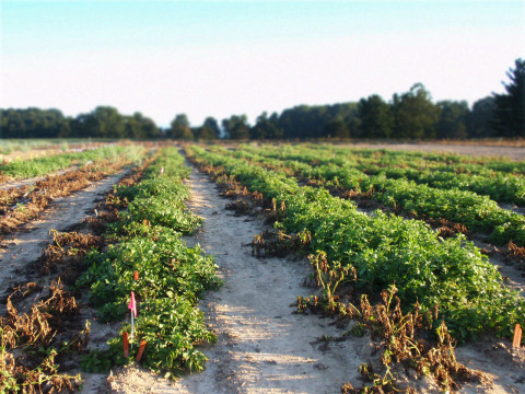 Innate® late blight resistance demonstrated at Michigan State University, 2013 Photo courtesy of J.R ...
