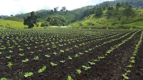 Central American field shown with juvenile 22nd Century Very Low Nicotine tobacco plants (Photo: Bus ...