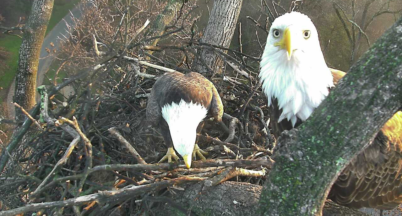 "Mr. President"" & ""The First Lady"" Have Laid Eggs! Watch LIVE in High ..."