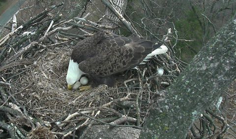 "Eagle Eggs Laid by ""Mr. President"" & ""The First Lady"" Due to Hatch Soon on D.C. Eagle Nest Cam - Tens of thousands of viewers from all over the world are watching two live-streaming high-definition cameras 24/7 at eagles.org in anticipation of two eaglets coming into the world. ""Mr. President"" and ""The First Lady"" are a pair of wild Bald Eagles nesting in Washington, D.C. at the U.S. National Arboretum. (Photo: Business Wire)"