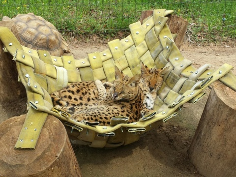 Dinari and Zuri, two servals at Chehaw Wild Animal Park in Georgia, relax in a hammock, which is made from old fire hose from an Owens Corning manufacturing plant. (Photo: Business Wire)