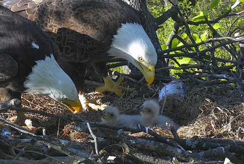 "The American Eagle Foundation and the D.C. Eagle Cam partners are looking for creative and symbolic names for ""DC2"" and ""DC3,"" the adorable bald eaglets that recently hatched in a wild nest at the U.S. National Arboretum in Washington, DC. The eaglets are being cared for and raised by their parents ""Mr President"" and ""The First Lady."" Cam viewers and fans can suggest names for the two eaglets via a ""Name the Nestlings"" social media campaign using hashtags #dceaglecam and #namethenestlings. Watch LIVE 24/7 on dceaglecam.eagles.org. Photo © American Eagle Foundation / www.eagles.org (Photo: Business Wire)"