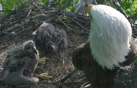 "Vote Now to Name the DC Eagle Cam Nestlings: Fans of the DC Eagle Cam can now cast their vote to name ""DC2"" and ""DC3,"" the adorable eaglets of Bald Eagle parents ""Mr. President"" and ""The First Lady."" This eagle family can be viewed live 24/7 and in high-definition from their nest inside the U.S. National Arboretum on www.dceaglecam.org! Photo © American Eagle Foundation."