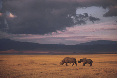 Alle acht Stunden wird ein Nashorn getötet. (Foto: Business Wire)