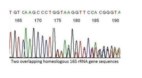 Two overlapping homeologous rRNA sequences (Graphic: Business Wire)