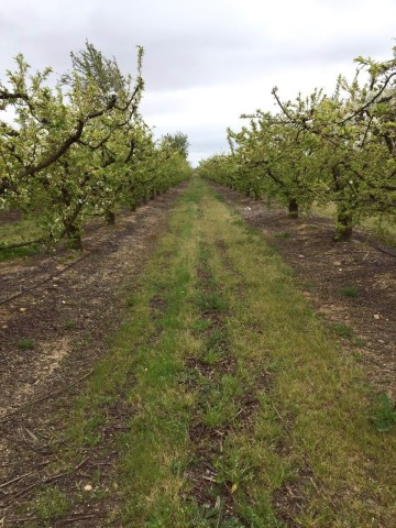 Glyphosate use in fruit, olive and nut groves reduces weed growth that competes with trees for water and makes it harder to harvest the crops. (Photo: Business Wire)