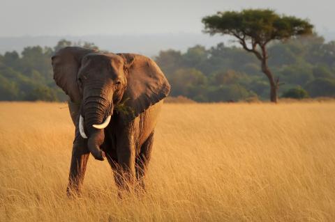 Maasai Mara Elephant (Photo Credit: © Amy Harris | Dreamstime.com)