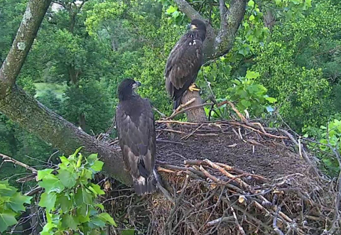 """It's almost time for parent bald eagles Mr. President and The First Lady to say goodbye to their young, Freedom (female) and Liberty (male). These two """"juvenile"""" eagles (about 11 weeks old) are now """"branching,"""" """"wingercizing,"""" and eating on their own, according to the American Eagle Foundation (www.eagles.org). There may only be 1-3 more weeks for fans of the D.C. Eagle Cam to view this bald eagle family LIVE, 24/7, and in high-definition from their nest inside the U.S. National Arboretum on www.dceaglecam.org. Photo © 2016 American Eagle Foundation. (Photo: Business Wire)"""