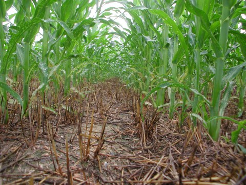 Maize grows amid previous crop's stubble in a field in which glyphosate was used for weed control in ...