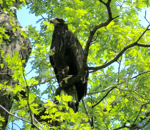 "FREEDOM TAKES FIRST FLIGHT - Sunday, June 5, at 2:30 p.m. EST, ""Freedom,"" one of two young eagles residing in the nest of ""Mr. President"" and ""The First Lady"" at the U.S. National Arboretum, fledged the nest! Visit dceaglecam.org to watch eagle ""Liberty"" fledge the nest as well. Photo Copyright 2016 Sue Greeley"