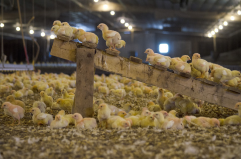 Studying the addition of enrichments, such as perches, on chicken behavior is one way Perdue is planning to double the activity levels of its chickens in the next three years. (Photo: Business Wire)
