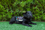 """PetSmart is collaborating with NBC's TODAY's """"Puppy With a Purpose,"""" a 16-month series where a puppy is raised and trained to serve those in need and his progress featured as part of the daily show. A black lab puppy, named Charlie through national online voting, will be trained by America's VetDogs to serve as a service animal for a disabled military veteran. PetSmart has donated $25,000 to America's VetDogs and also outfitted the puppy's in-studio home on TODAY. PetSmart chose several puppy essentials for Charlie and his trainer, Poff, including a comfy cuddler bed, a monogrammed cozy fleece blanket, feeding bowls, collars, comfort harnesses and leashes, as well as a range of puppy toys, at-home grooming supplies and puppy solutions like flea & tick treatments and multi-vitamins. (Photo: Business Wire)"""